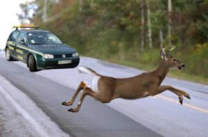 Если вы сбили дикое животное, и нет предупреждающего знака, а животное оказалось под колесами, штраф выплачивать не нужно.